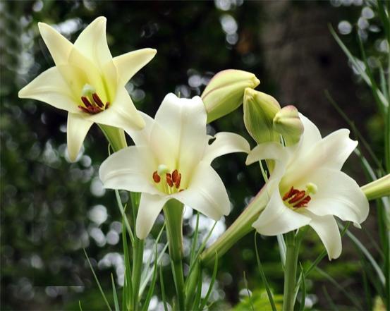 como-plantar-lirios-plantas-delicadas-que-exigem-cuidados-especiais-3